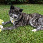 Gokkai with his toy