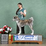 End of weekend professional photo. Japanese Akita out of coat